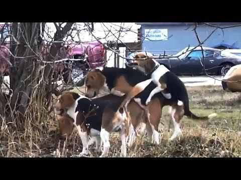 Xxx Mp4 ♥ ♥ ♥ FUNNY BREEDING DOG VIDEO♥ ♥ ♥ AnimalS LovE ♥ ♥ 3gp Sex
