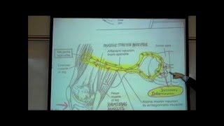 STRETCH REFLEXES by Professor Fink