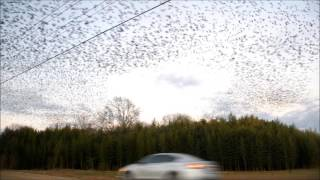 Thousands of blackbirds swirling at dusk: Explained