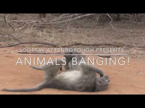 Xxx Mp4 Scottay Attenborough Presents Animals Banging 3gp Sex