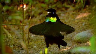 Bird Of Paradise Makes An Unforgettable First Impression  - Animal Attraction - BBC