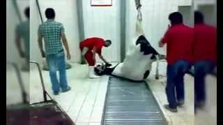 EXPORT DAIRY- PREGNANT COW SLAUGHTERED IN TURKEY WITH NEWBORN CALF