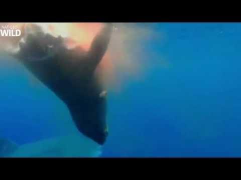 Tubarão ataca e come leão marinho