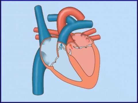 Xxx Mp4 4 النقل في الانسان الدورةالدموية الدورة البابية الكبدية الجلطة الدموية الجهاز الليمفي 3gp Sex