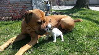 Cute Puppies Play with Big Dogs Compilation (2018)