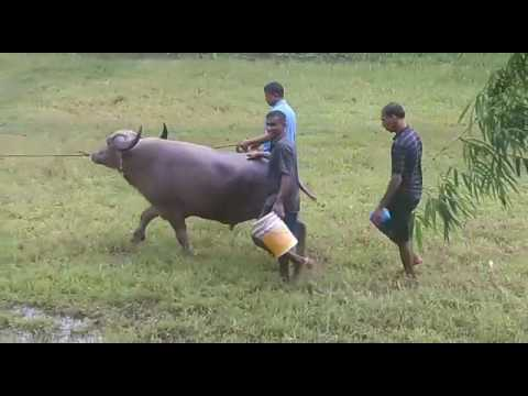 Goan bullfight Agassaim matov 24 August 2016