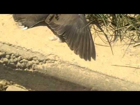 Caza de palomas con rifle parte 6