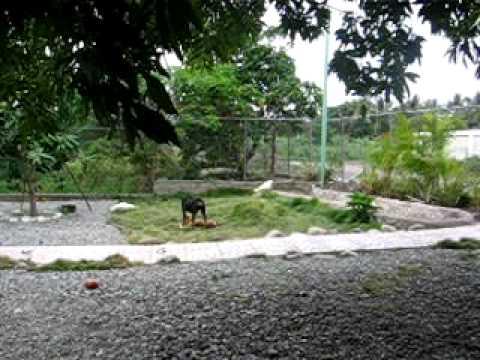 vacaciones en paya bani dominican republic perros peleando