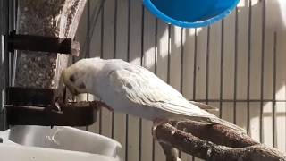 Budgerigar eating seeds from Seed Hopper