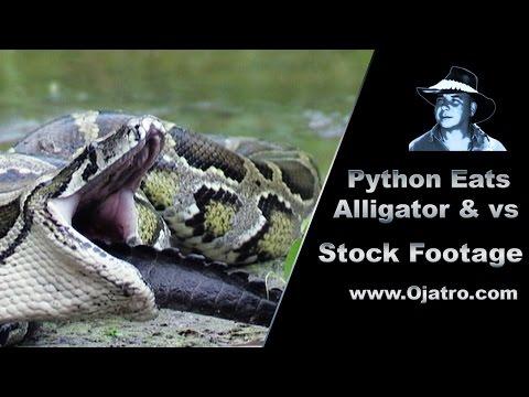 Python Eats Alligator 01 Stock Footage