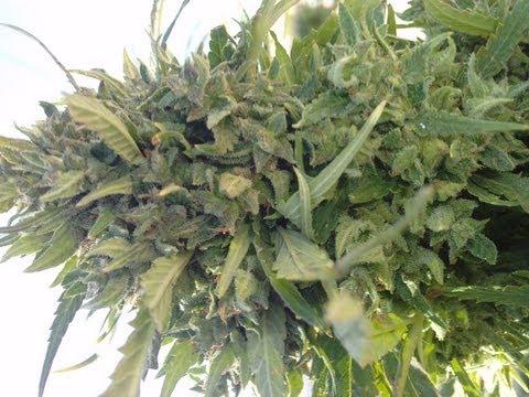 Cómo y cuándo sembrar marihuana en maceta o tierra.