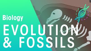 Fossils and Evidence for Evolution   Biology for All   FuseSchool