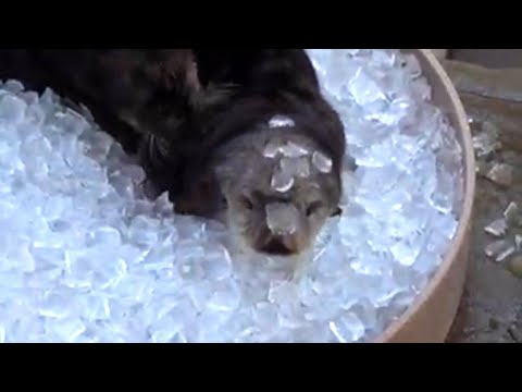 Xxx Mp4 Otters Chill In Ice Bath To Keep From Overheating At Oregon Zoo 3gp Sex