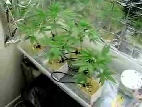 hydroponic set up, few weeks in! (Maroc x Afghan)