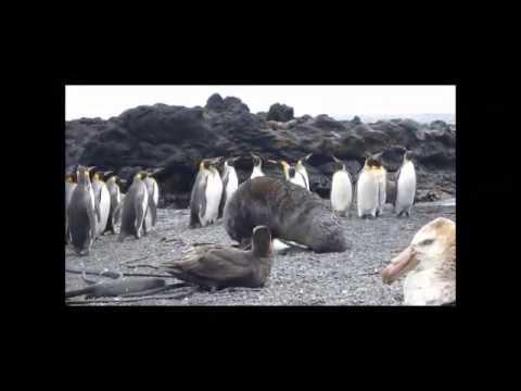 Focas estão estuprando pinguins