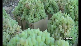 Iran Hezaveh village, Arak county, Grapes picking برداشت انگور روستاي هزاوه اراك ايران