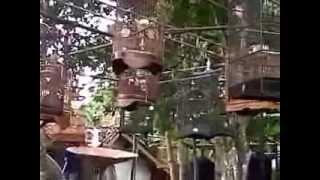 Kontes Burung Kores @ Kawali-Ciamis | Gubug Berita