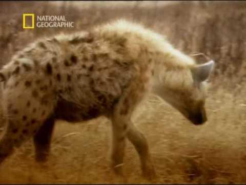 Animal Sex Hyena