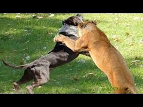 Xxx Mp4 Spectacular Attacks Of Wild Animals Fight For Survival Fighting Animals 3gp Sex