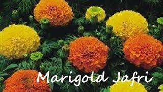 How to Grow Jafri Marigold From Seeds | Jafri Flowers | September-2016 (Urdu/hindi)