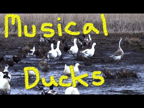 Musical Female Ducks #15 Winter Duck Adventure