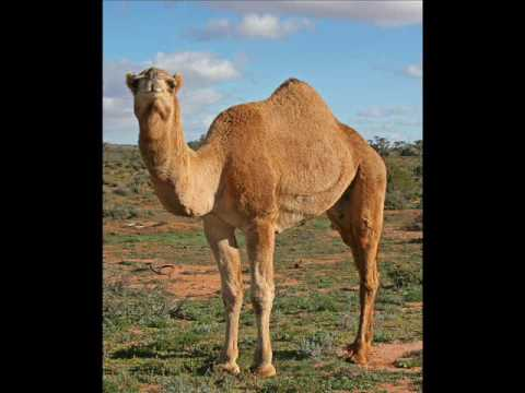Kiss a Male Camel's Dick