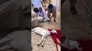 Bakra qurbani ll 2018 ll Dangerous ll Bakra eid ll saudi eid ll Eid ul adha ll