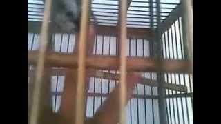 suara dan video burung gelatik wingko gacor rol panjang