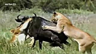 documentaire la légendaire savane africaine