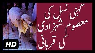 Gheni Cow Shehzadi Qurbani at Eid ul Adha 2017 Bakra Eid 2017 HD | Cow Sacrifice 2017 in Pakistan
