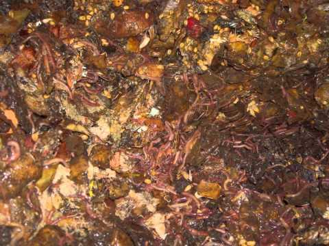 Чем кормит дождевых червей в домашних условиях