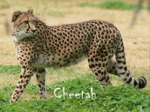 Animais Africanos África terra de gigantes
