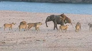 FIGHT TO SURVIVE BABY ELEPHANT VS 14 LIONS فيل صغير يقاتل حتى الموت ١٤ اسد