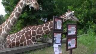 Wrocław Zoo Poland, Giraffes / Żyrafy