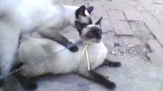 gatos flagrados fazendo amor