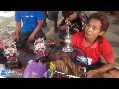 """Lovebird Kusumo """"Memanas""""di Kota Sendiri - Lomba para Juara Lovebirds di Klaten"""