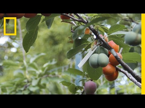 Xxx Mp4 This Crazy Tree Grows 40 Kinds Of Fruit National Geographic 3gp Sex