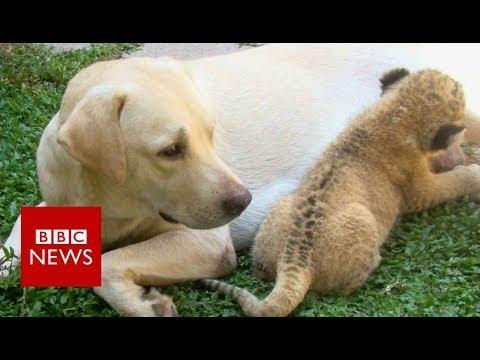 Xxx Mp4 The Little Lion Cub Raised By A Dog BBC News 3gp Sex