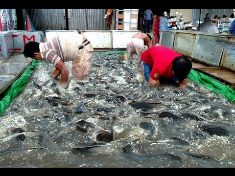 Wow! Amazing Catch Big Fish by Hand in Cambodia - How to Catch A Lot of Snake head Fish