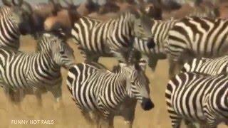 Zebra Wildlife 2015 BEST Animals Documentary National Geographic Full HD
