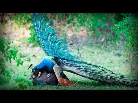 Glamorous Indian Peacock Pavo Real Glamuroso