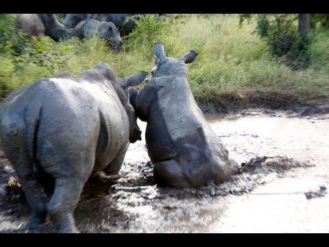 Rhino fight South Africa White Rhinos