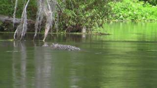 Alligator Swimming On The Silver River