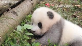 "Panda Cub Chengshi makes sound ""Hmm-Hmmm"""