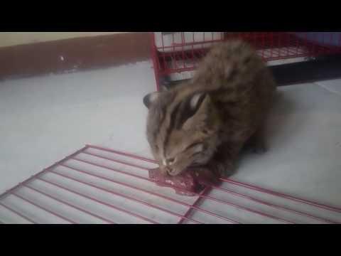 Part. 1 : Tips Cara Memberi Makan Kucing Hutan