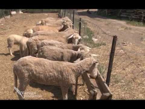 Uzgoj ovaca rase Ile de France u Despotovcu U nasem ataru 457