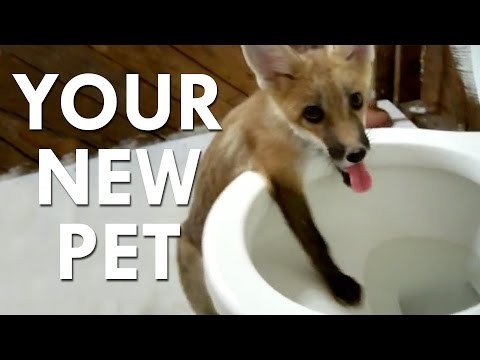 Russian Experiments Make Pet Foxes