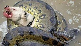Dog vs big snake - Amazin fight to death - Wild animals fights to death