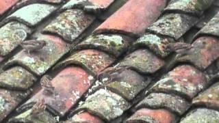 Pardais no telhado (Felgueiras de Resende)