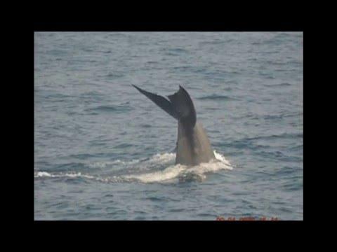 Blue whale (Mirissa/Sri Lanka)